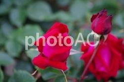 赤いバラの花|アンクル ウォルター