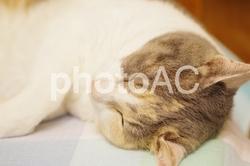 三毛猫 mimi