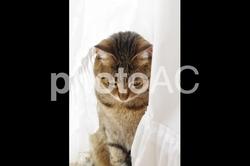 キジトラ猫 lacco