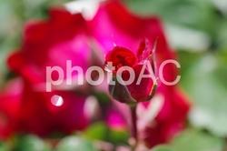 バラの花 品種 | ブレンネンデリーベ